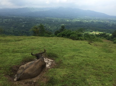 An extremely comfortable carabao in his puddle of mud