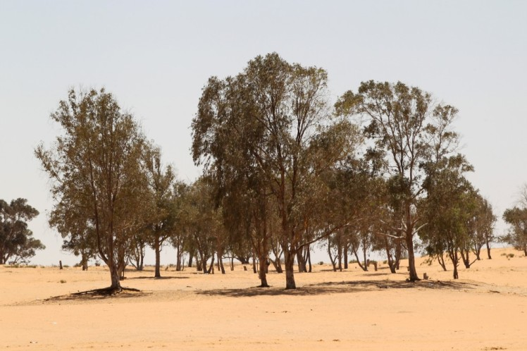 eucalyptus-trees-in-southern-israel1